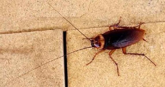Уничтожение тараканов — безопасные методы борьбы с вредителями